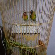 Lovebird Dakori Ijo Grade C MH Cowo N Cewe (26742135) di Kota Jakarta Pusat