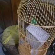 Lovebird Dawn MH Cowo N Cewe( BURUNG BABE/BUNDA )..Hm.. (26745899) di Kota Jakarta Pusat