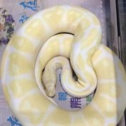 Albino Ball Python (Male) (26779579) di Kota Jakarta Barat