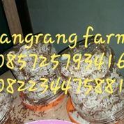 Bibit Kroto Jombang 085725793416 (27181455) di Kab. Gresik