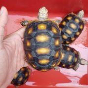 Red Foot Tortoise (27184283) di Kota Jakarta Barat