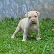 Anakan Anjing Pitbull (27191675) di Kota Mojokerto