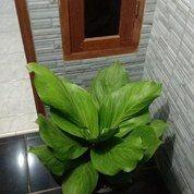 Pohon Anthurium Jamani Cobra (27245375) di Kota Bogor