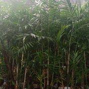 Pohon Palem Komodoria (27245395) di Kota Bogor