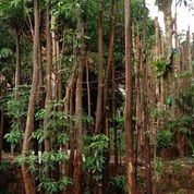 Pohon Pelindung Pule (27245431) di Kota Bogor