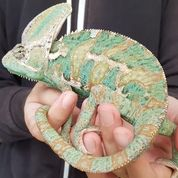 Veiled Chameleon (Male) (27346271) di Kota Jakarta Barat