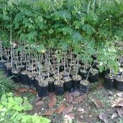 Pohon Bibit Trembesi,Trembesi Besar