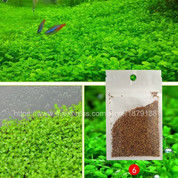 Bibit Rumput Air Dekorasi Aquarium Akuarium Landscape Love Grass (27791791) di Kota Surakarta