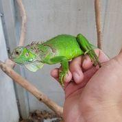 Green Iguana Mix Columbia (28130627) di Kota Jakarta Barat
