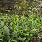 Anggrek Dendrobium Dewasa/Spike (28447047) di Kota Malang