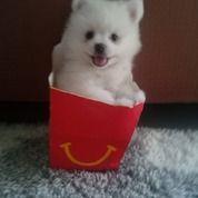 Puppy / Anak Anjing Pom / Pomeranian Jantan & Betina Warna Putih (28621103) di Kota Cimahi