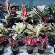 Bunga Aglonema Untuk Rumah Cantik (28649843) di Kab. Gorontalo Utara