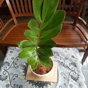 Zamioculcas Zamiifolia / ZZ Plant (28775007) di Kab. Tangerang