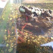 Udang Hias Red Cherry 2 Cm An Jogja (28951030) di Kab. Bantul