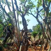 Lapak Pohon Kemboja Fosil Diameter Batang 20cm (29013049) di Parung