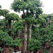 Pohon Bonsai Cemara Udanh (29018532) di Parung