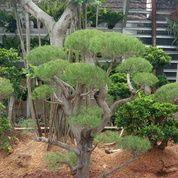 Pohon Bonsai Cemara Udang (29046241) di Parung