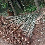 Pohon Bambu Jepang (29046247) di Parung