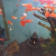 Guppy Albino Full Red 2 - 3 Bln An Jogja (29179394) di Kab. Bantul