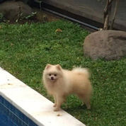 Male Mini Pom Pomeranian Jantan Dewasa Putih White (29201644) di Kota Tangerang Selatan