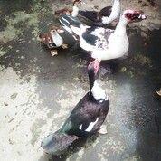 Borongan 6 Bebek Dewasa ( Indukan), Berat 2-3kg, Umur 2-3tahun, Kondisi Baik (29203687) di Kota Lubuk Linggau