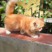 Kucing Persia Original (29357385) di Kota Medan