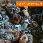 Doc Ayam Petelur Arab Saudi Kualitas Mutu Terjamin Menguntungkan (29458100) di Kab. Kudus