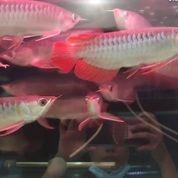 ARWANA SUPER RED Ukuran 16cm Dayung Panjang Body Tebal Sertifikat Chip (29472373) di Kota Bekasi