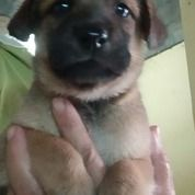 Anak Anjing Mix Belgian Malinois Betina (29544928) di Kota Medan