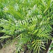 Bibit Tanaman Kiara Payung I Pinisium - Langka - Harga Terjangkau (29587757) di Kab. Purworejo