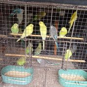 "Burung Parkit Macam"" Warna (29641816) di Kota Jakarta Selatan"