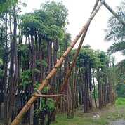 Pohon Pule Alstonia Scholaris? (29652927) di Parung