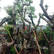 Pohon Kamboja Fosil Bali Prumeria Sp (29652935) di Parung