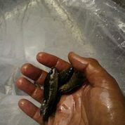 Bibit Ikan Kakap Merah Mangrove Jack (29683353) di Kota Palembang