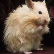 Hamster Syrian Long Hair (2969639) di Makasar