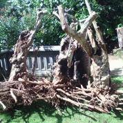 akar kayu kopi usia tua (2973449) di Kota Malang
