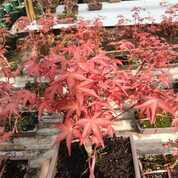 Pohon Red Maple Uk 30 - 35 CM (29814689) di Parung