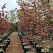 Pohon Red Maple Ukuran 2 Meter (29814724) di Parung