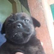 Anak Anjing Chihuahua Mix Kampung Jantan (29942349) di Kota Medan