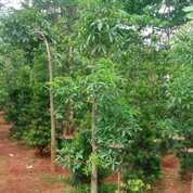 Pohon Baobab Kaki Gajah Uk 1,5 Sd 2 Meter Up Murah (30015869) di Parung
