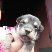 Anak Anjing Mix Mini Pincher (30039716) di Kota Medan