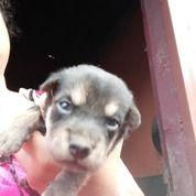 Anak Anjing Mix Mini Pinscher Jantan Dan Betina (30039800) di Kota Medan
