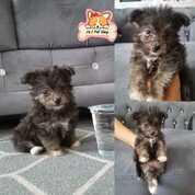 Anjing Mix Poodle Yorkshire (30051845) di Kota Surabaya