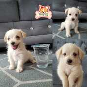 Anjing Mix Poodle Yorkshire Betina (30051863) di Kota Surabaya