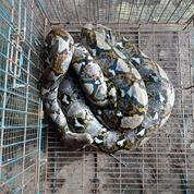 ULAR SANCA KEMBANG BELOM JINAK, PANJANG 3METER, CORAK DIKULITNYA DIJAMIN BAGUS.. (30059680) di Kab. Bogor