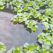 Eceng Gondok Mini Hias Tanaman Air Aquascape (30113488) di Kab. Tangerang
