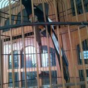 Jantan Burung Murai Batu Blorok (30137413) di Kab. Demak