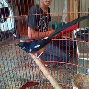 Blorok Sumatra Super Jinak (30137465) di Kab. Kudus