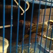 Sepasang Burung Cucak Rowo Ropel (30150174) di Kab. Kudus