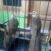 Pasangan Anakan Cucak Rowo Manyus (30152807) di Kab. Jepara